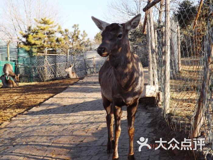 青藏高原野生动物园四不象在张望图片 - 第14张