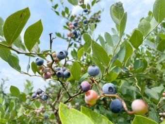昌米蓝莓采摘园