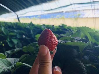 乡情草莓采摘
