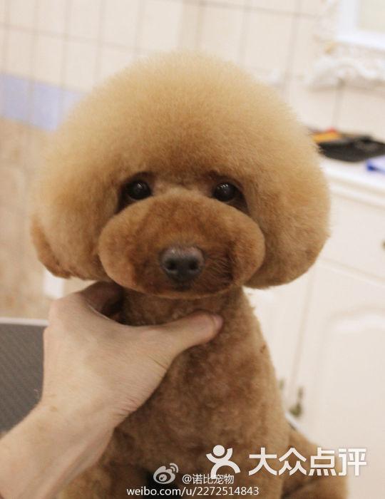 美容师修剪贵宾泰迪日系造型 蘑菇头