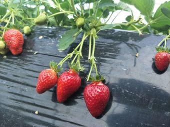 小鱼草莓采摘园