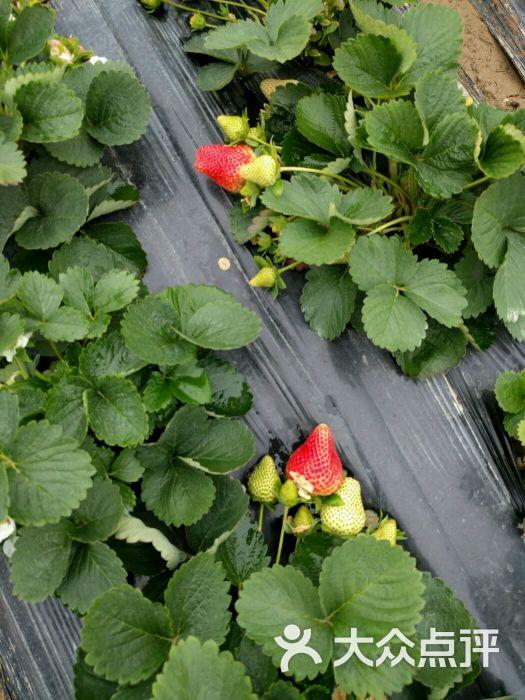 谭村路口杭州牛奶草莓园--其他图片-佛山休闲娱乐