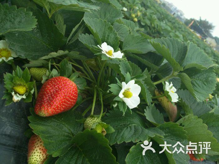 谭村路口杭州牛奶草莓园-图片-佛山休闲娱乐-大众点评
