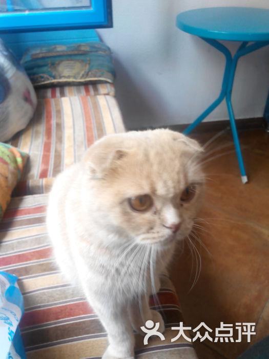 可爱猫猫折耳壁纸