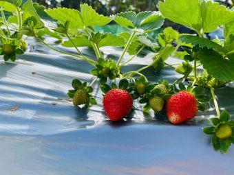 草莓采摘园(大拥桥)