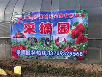 西沙湿地有机草莓采摘园