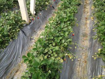 鲜来到草莓采摘