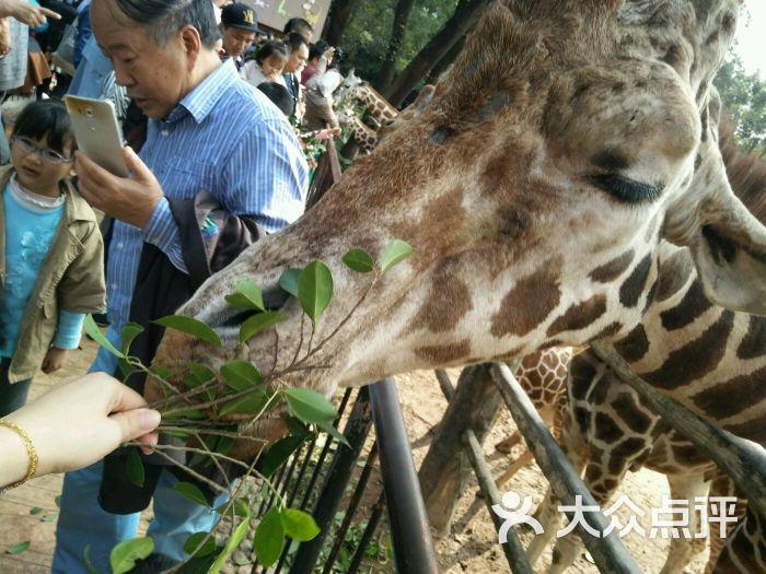广州动物园喂长颈鹿图片 - 第2张