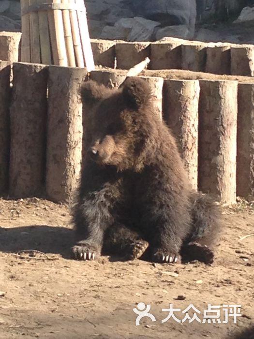 棕熊宝宝图片_棕熊宝宝松树上追打哄闹疲惫妈妈树下睡觉