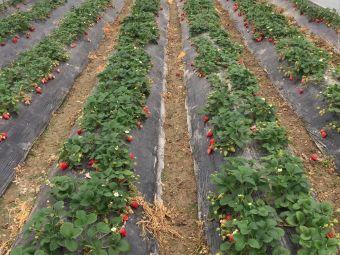 张师傅草莓园