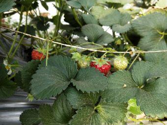 幸福草莓采摘园