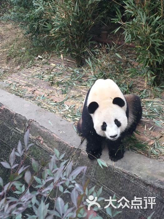 大熊猫繁育研究基地图片 - 第166张