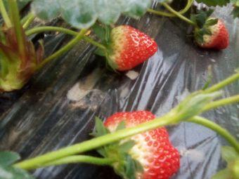 草莓火龙果园