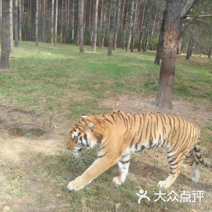 吉林省东北虎园图片-北京动物园-大众点评网