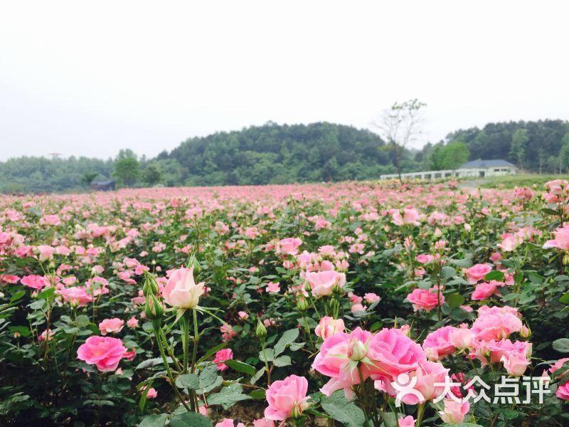 木兰玫瑰园-木兰玫瑰花园图片-武汉景点-大众点评网