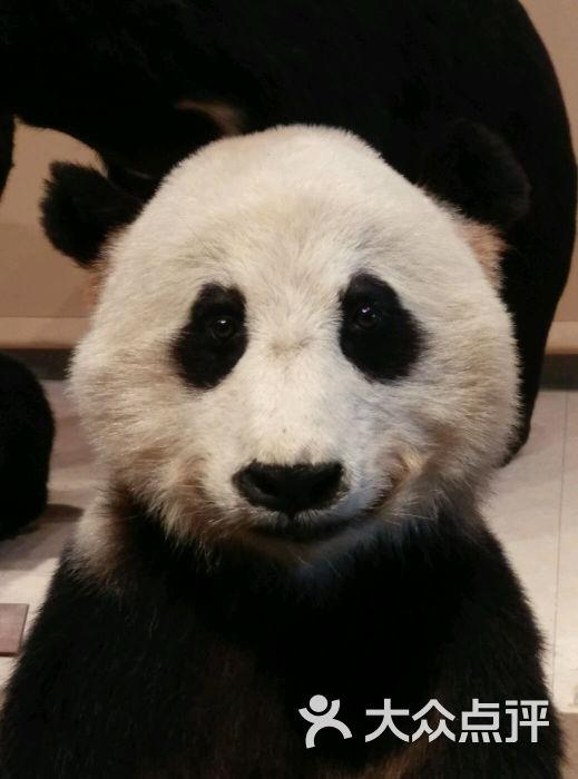 壁纸 大熊猫 动物 519_700 竖版 竖屏 手机