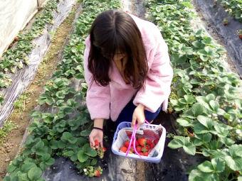 张家外婆草莓-崇明农家草莓采摘