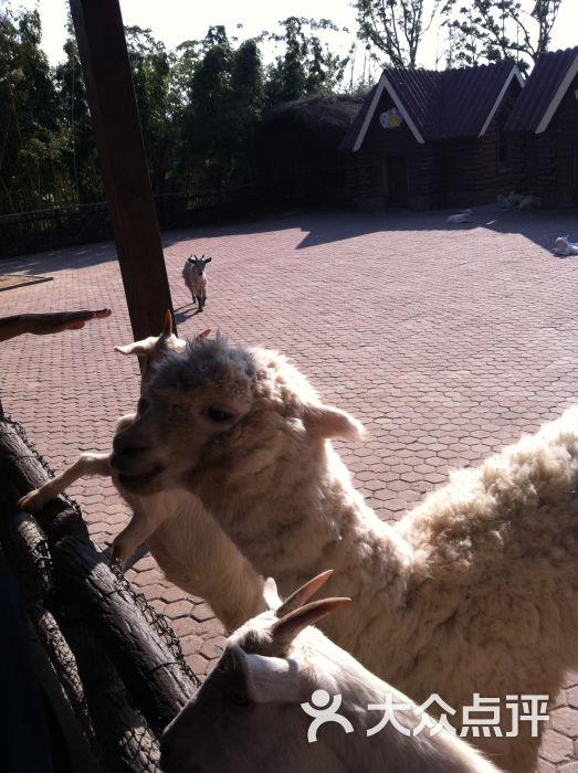 上海野生动物园羊驼图片 - 第41661张