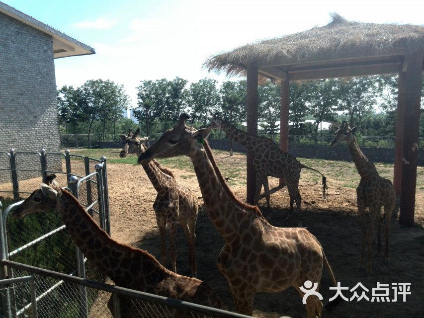 石家庄动物园长颈鹿图片 - 第2张