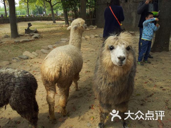 上海野生动物园羊驼图片 - 第41536张