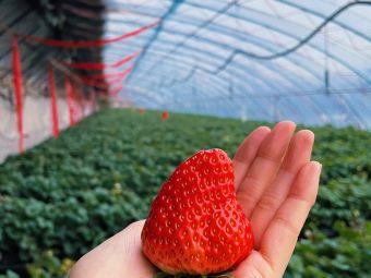 顺馨牛奶草莓采摘园
