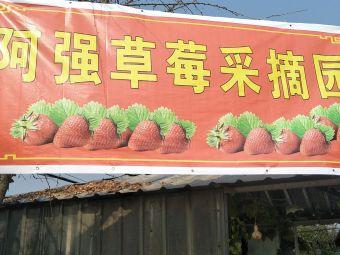 阿强草莓采摘园