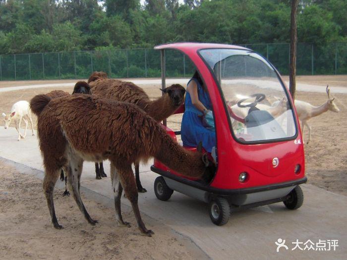 北京野生动物园羊驼和电瓶车图片 - 第28357张