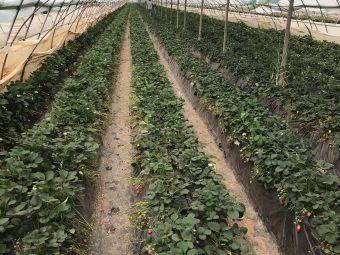 夏菲鲜果采摘园