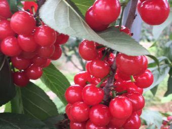 田野樱桃釆摘园