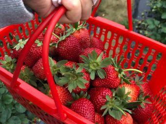 大埔振华草莓园