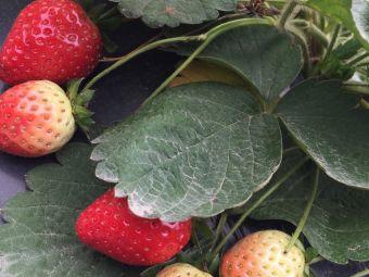 德富草莓园