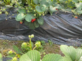 龙桥草莓采摘园