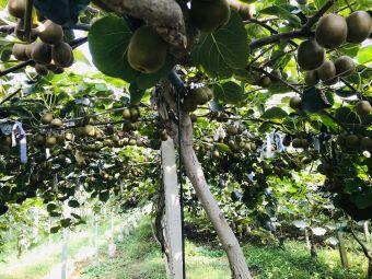 八都溪猕猴桃种植园