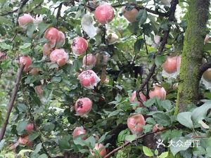 大沙河陇西堂有机苹果采摘园