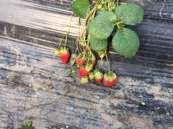 华岛草莓采摘乐园