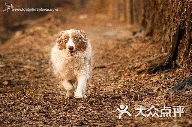澳洲牧羊犬-宠物摄影的图片-大众点评网