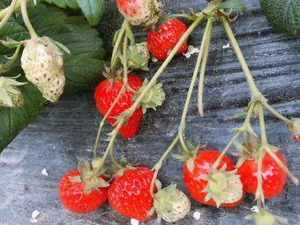 天天鲜草莓园