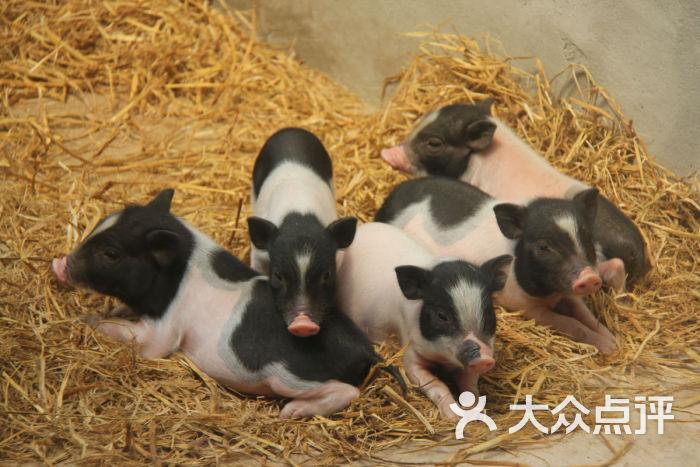 沈阳中山公园动物园香猪