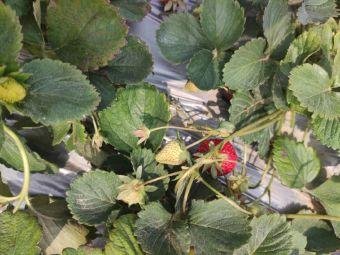 欢喜草莓园