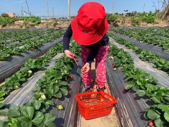 吴蜀黍香甜草莓园