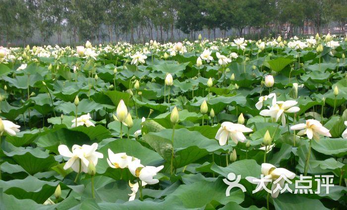 蟹岛绿色生态度假村-荷花图片-北京酒店-大众点评网