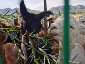 七峰山羊驼养殖基地