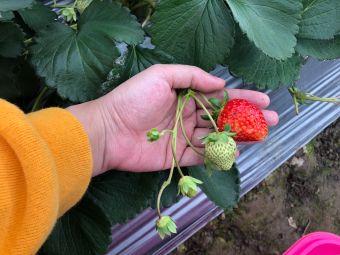西区草莓园
