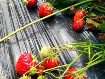 青峰岭草莓采摘园