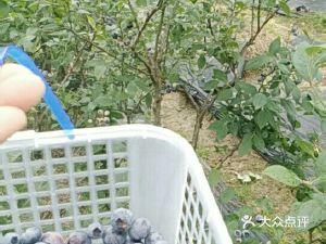 蓝贝儿蓝莓采摘基地