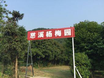 慈溪杨梅园