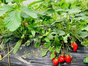 笑笑草莓基地