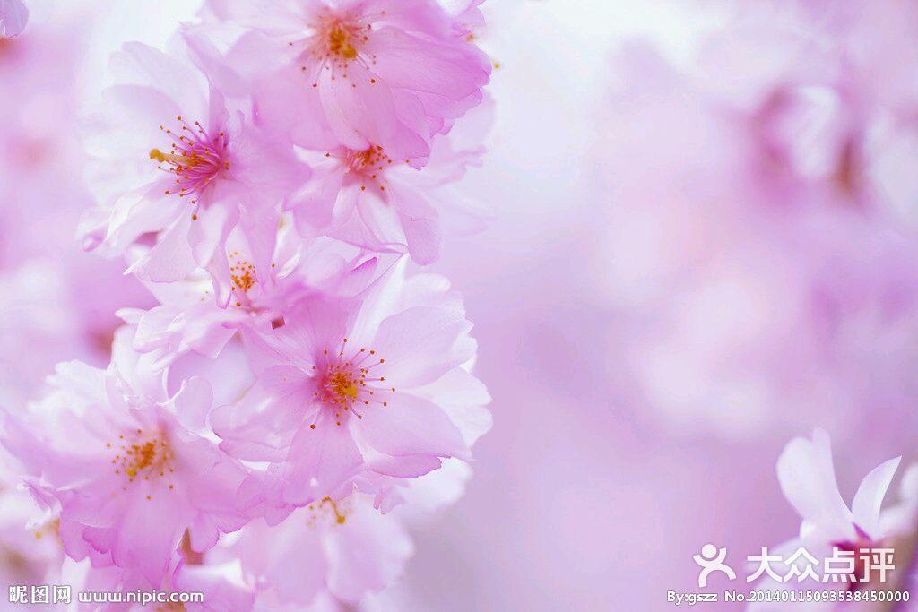 樱花ppt图片素材大全