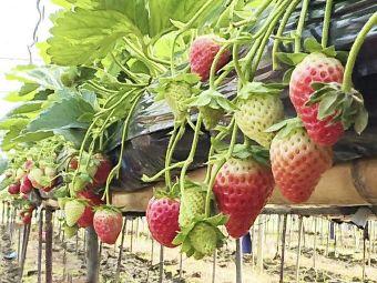 尉氏草莓园