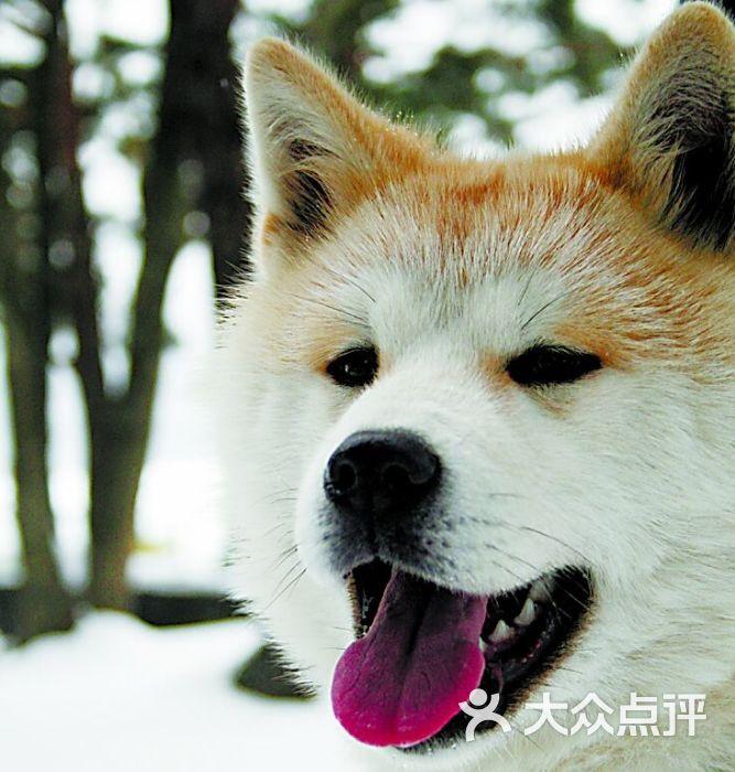 秋田犬头像_oceandalian